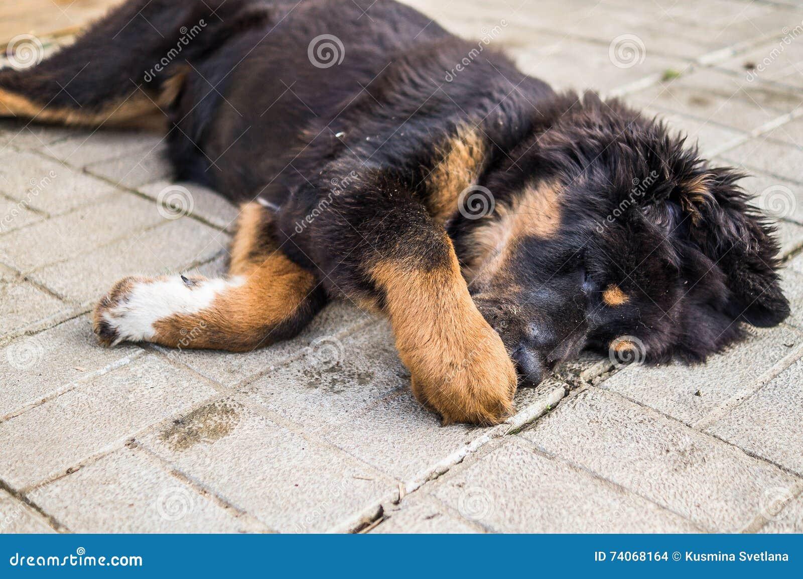 Playing the tibetan mastiff puppy the tibetan mastiff is one of the