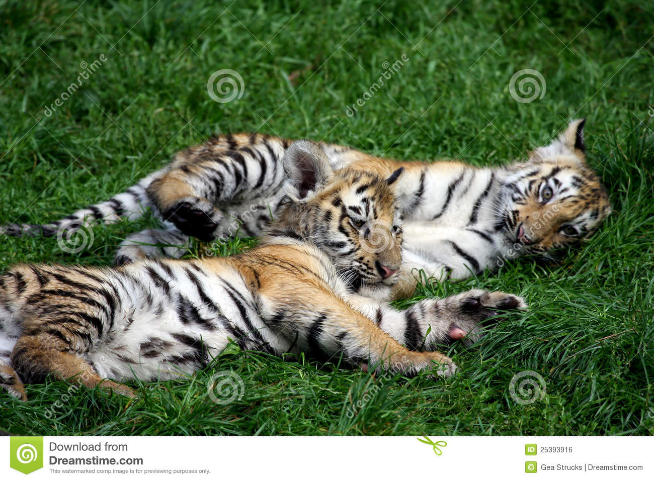 Playing Tiger Cubs Royalty Free Stock Image - Image: 25393916