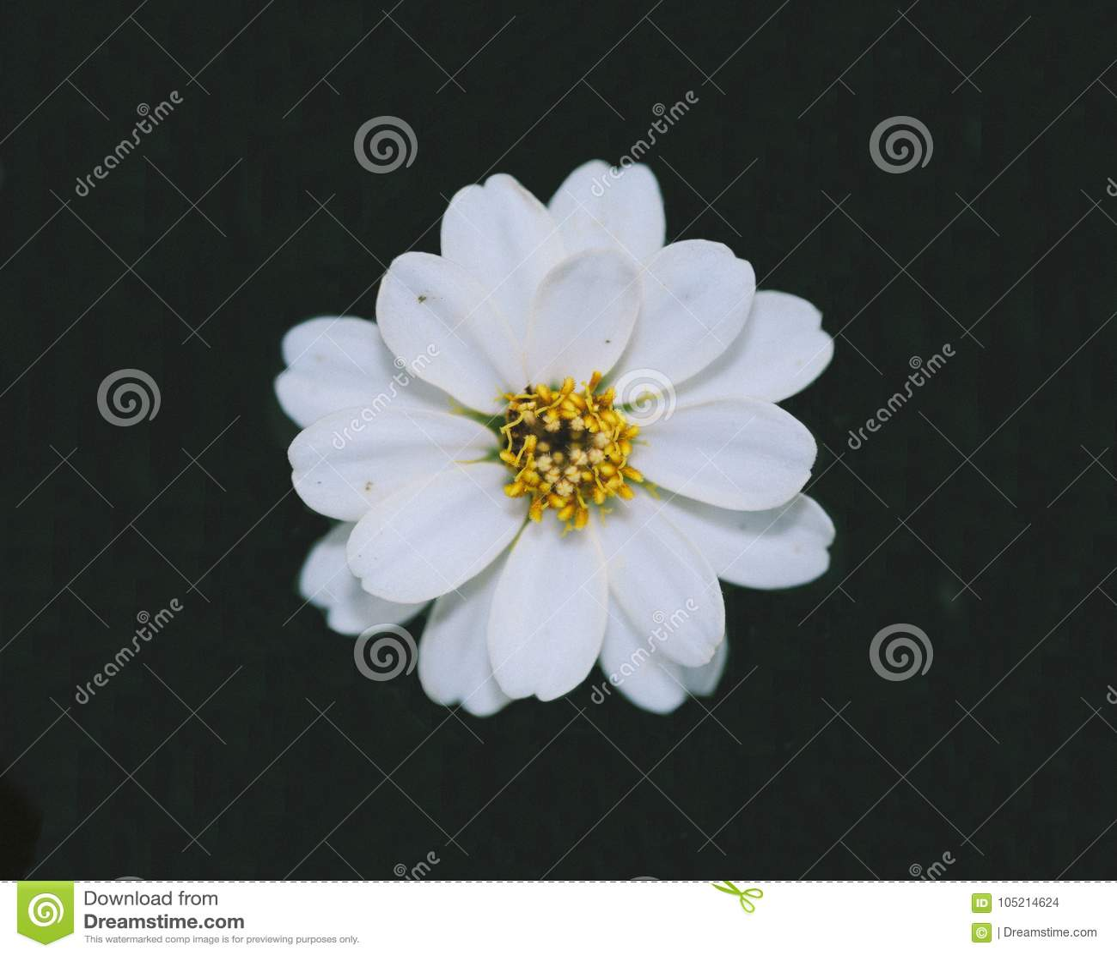 Pleasing look of beautiful zinnia flower blooming in green background