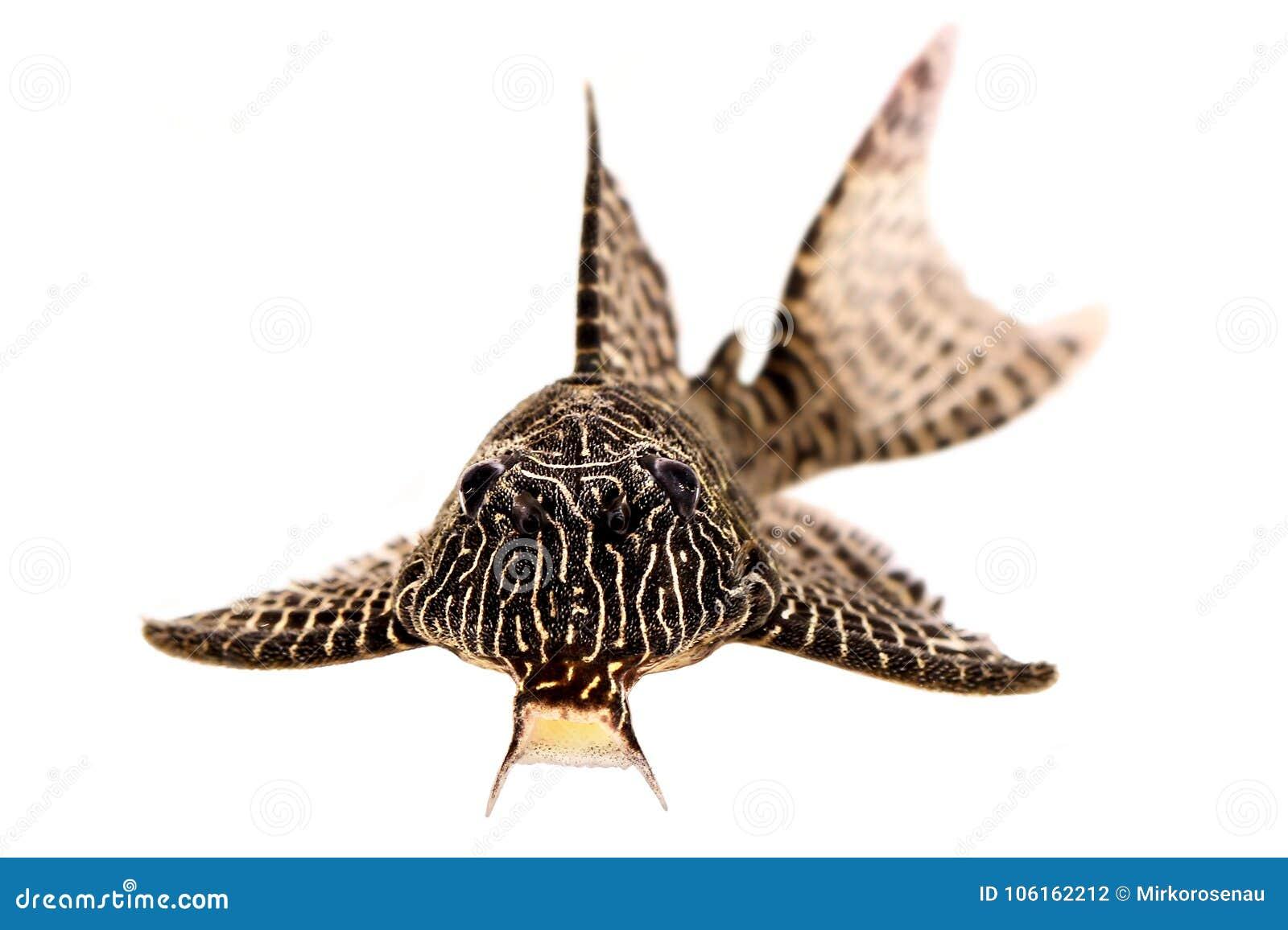 Pleco鲶鱼L-260女王蔓藤花纹Hypostomus sp Plecostomus水族馆鱼
