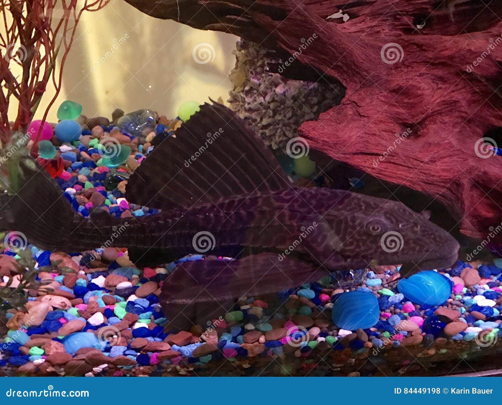 Plecostomous prenant un repos dans le réservoir