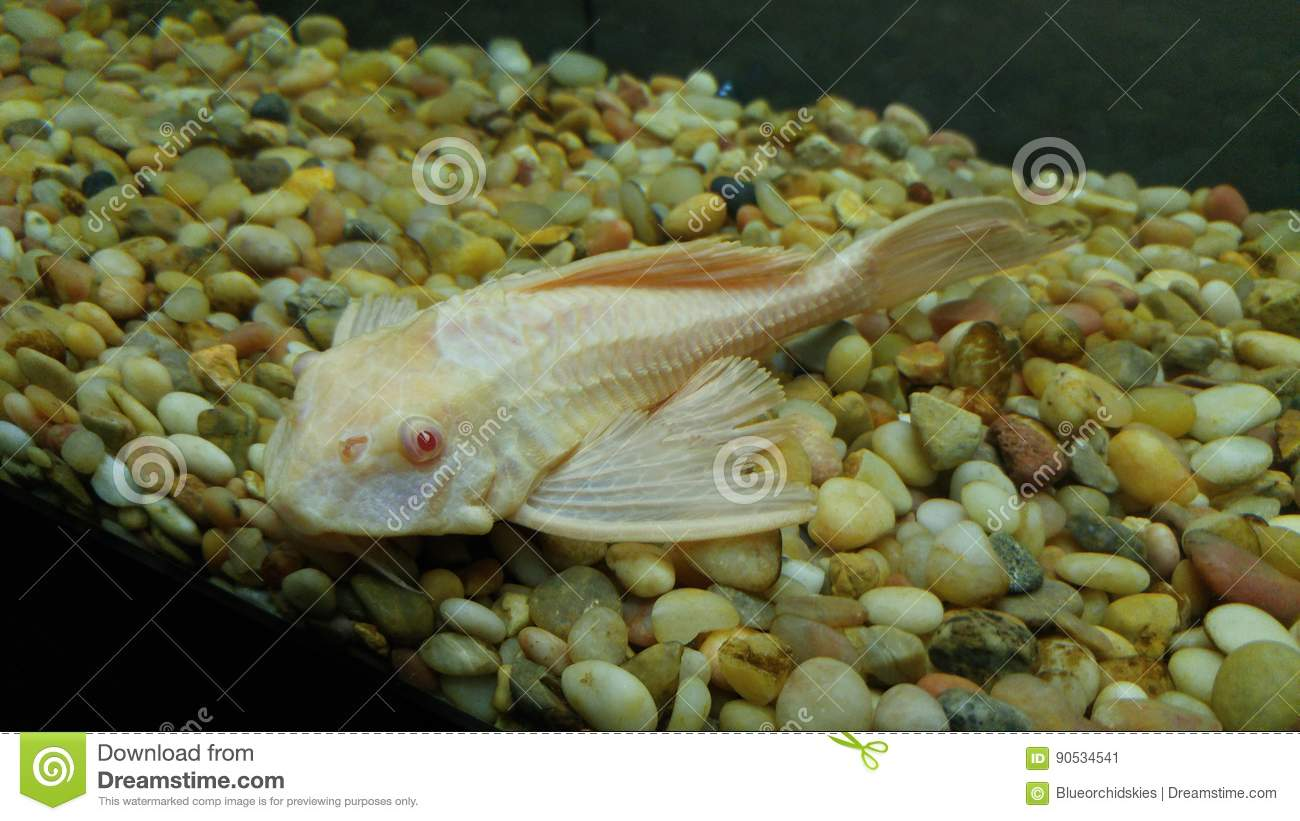 Plecostomus Catfish In A Fish Tank Stock Image Image Of Albino