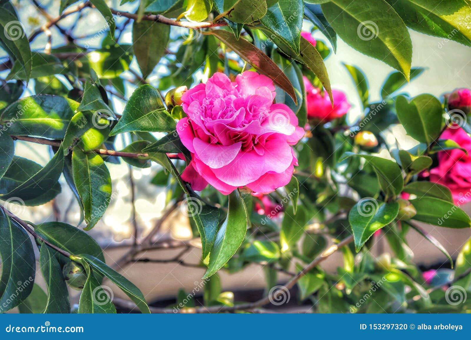 Plein sunmer rose de fleur de beauté