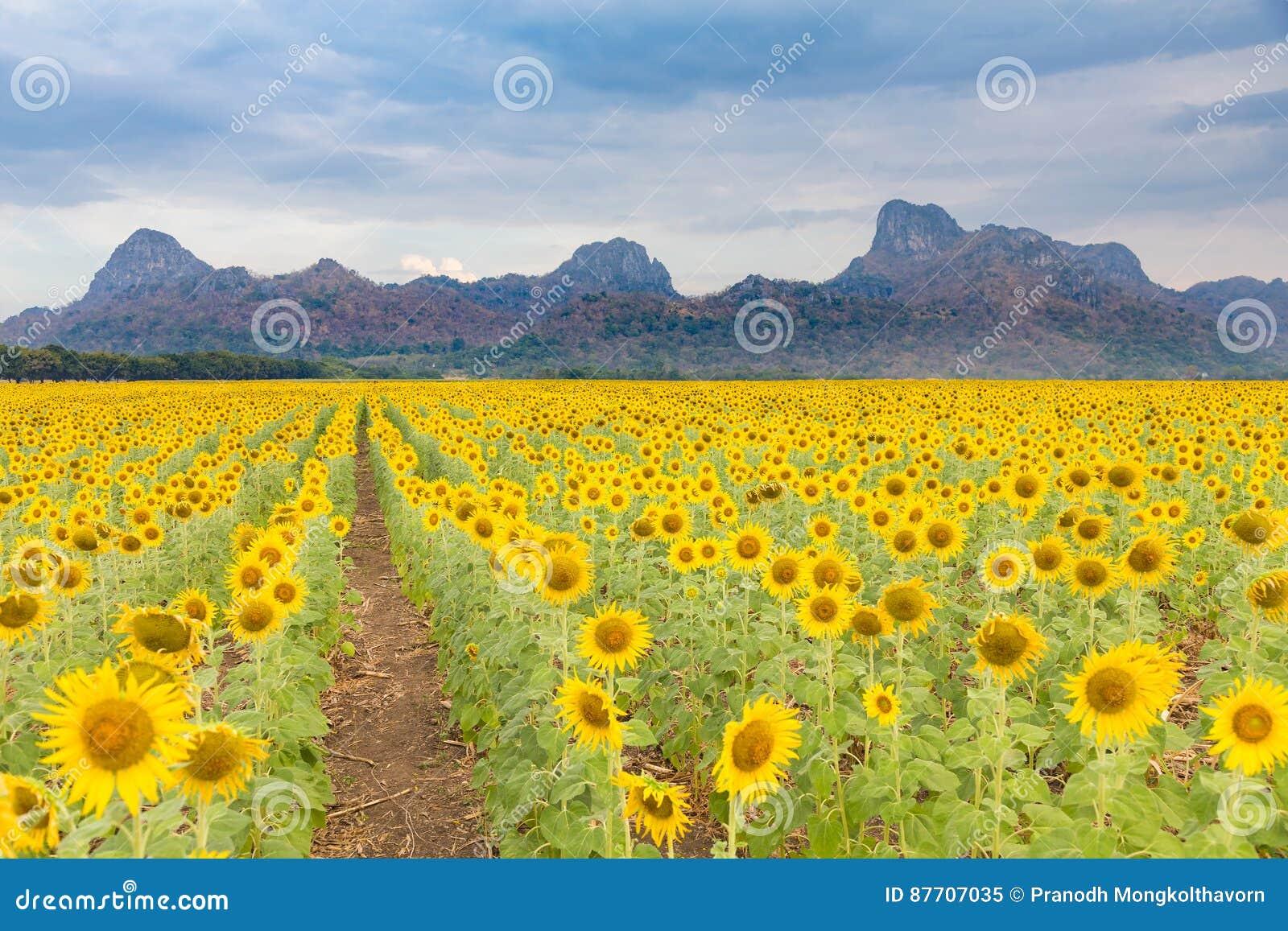 Pleine floraison de beau gisement de tournesol avec le fond de montagne