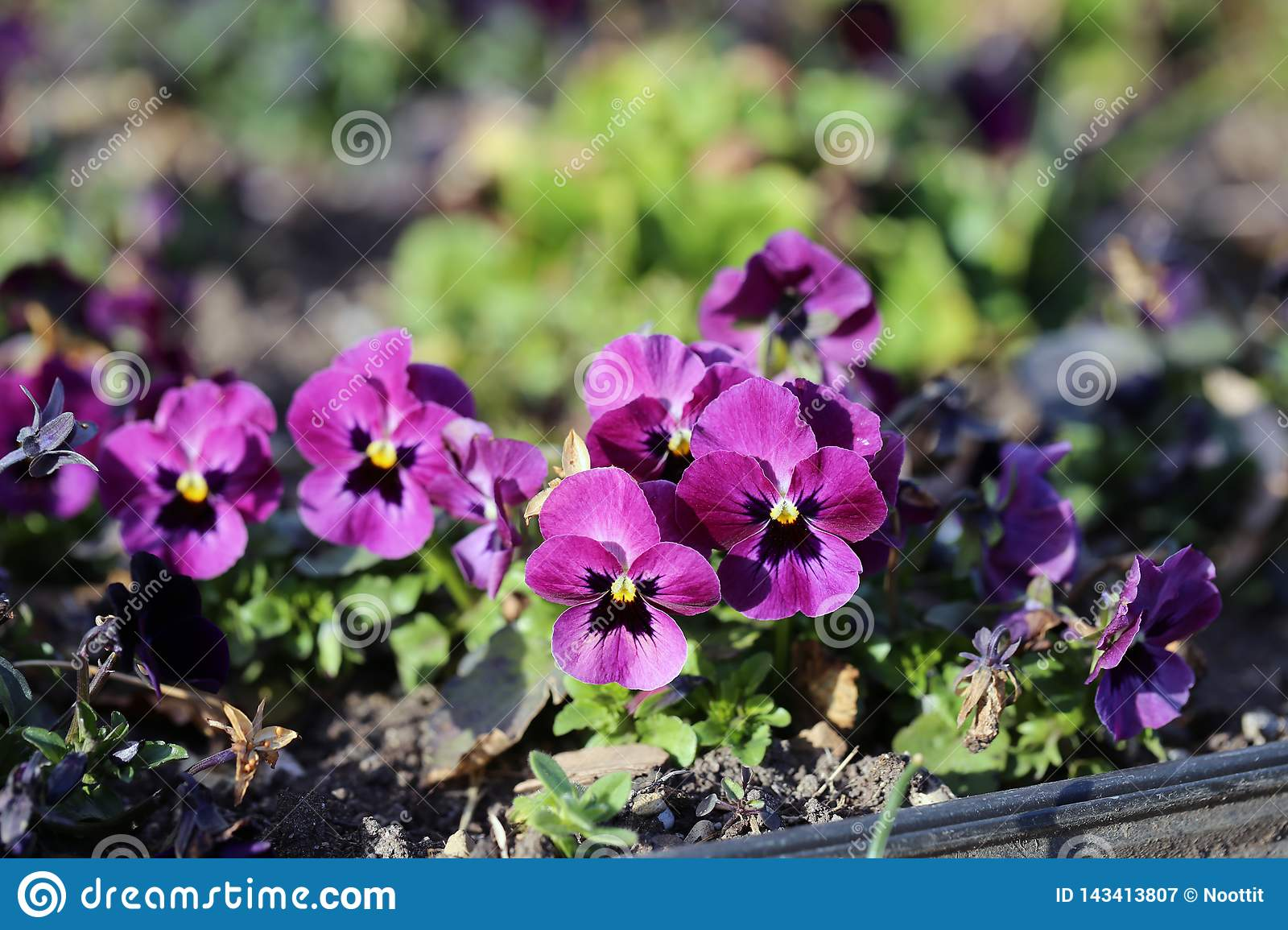 Small Purple Pansy Flowers Blooming