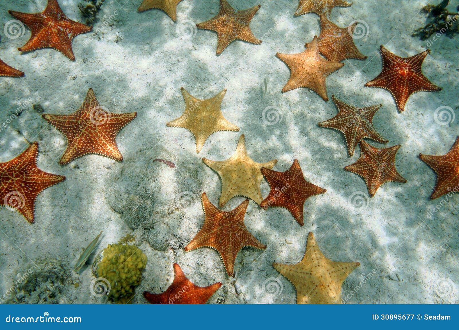 Plenty of starfish on a sandy ocean floor