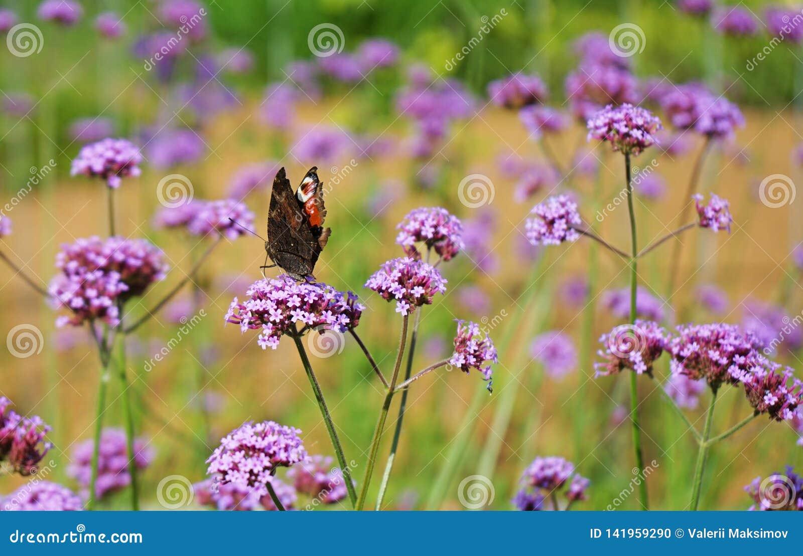 Plexippus för danaus för monarkfjäril på en lila blomma