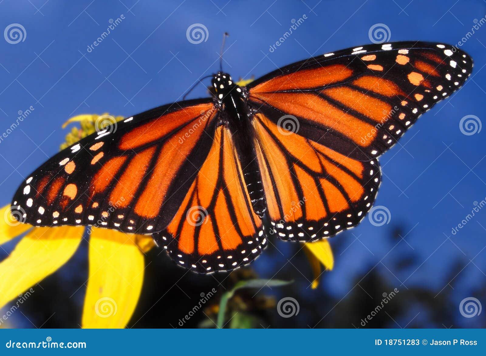 Plexippus för fjärilsdanausmonark