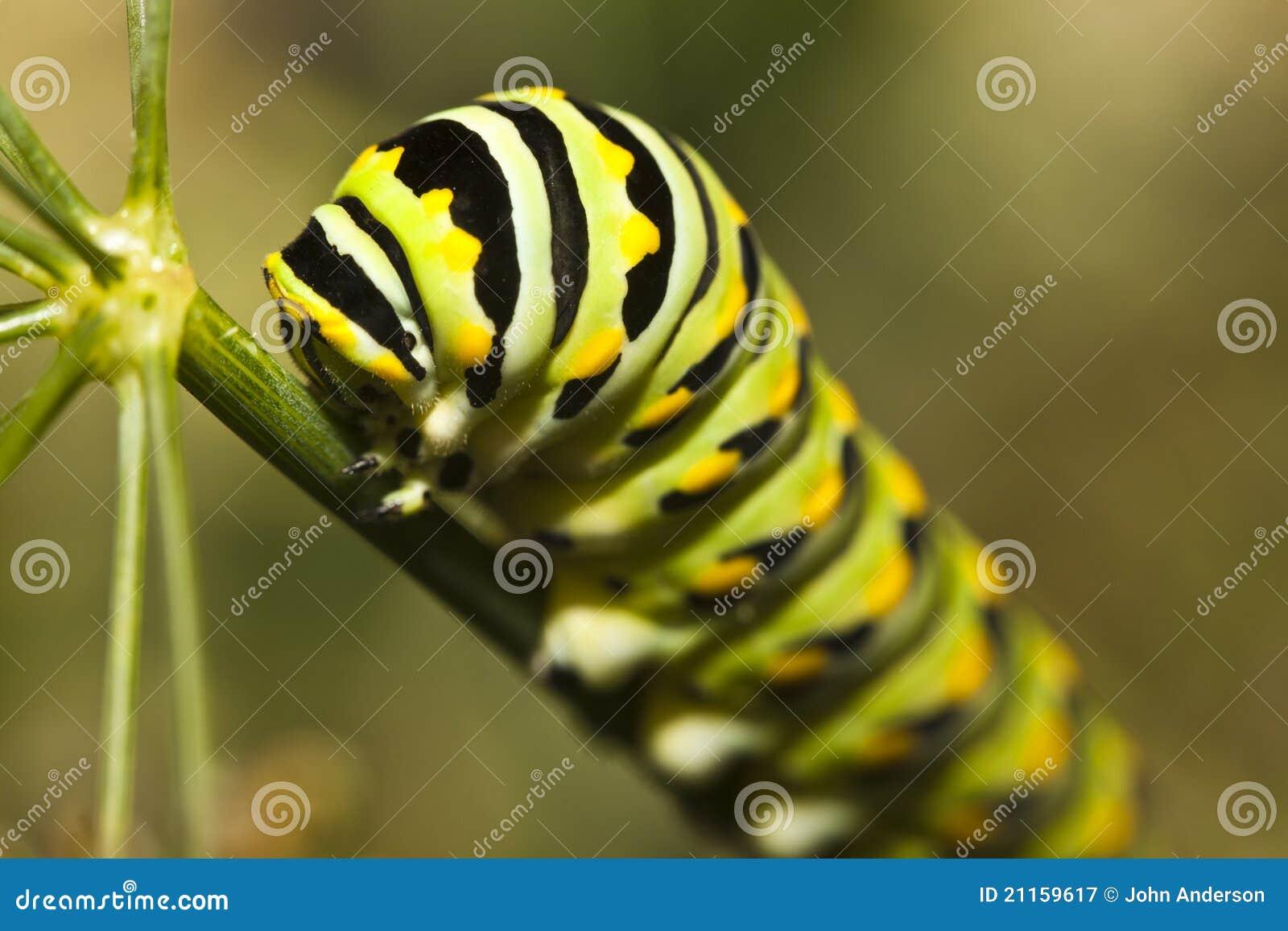 Plexippus för monark för fjärilscaterpillardanaus