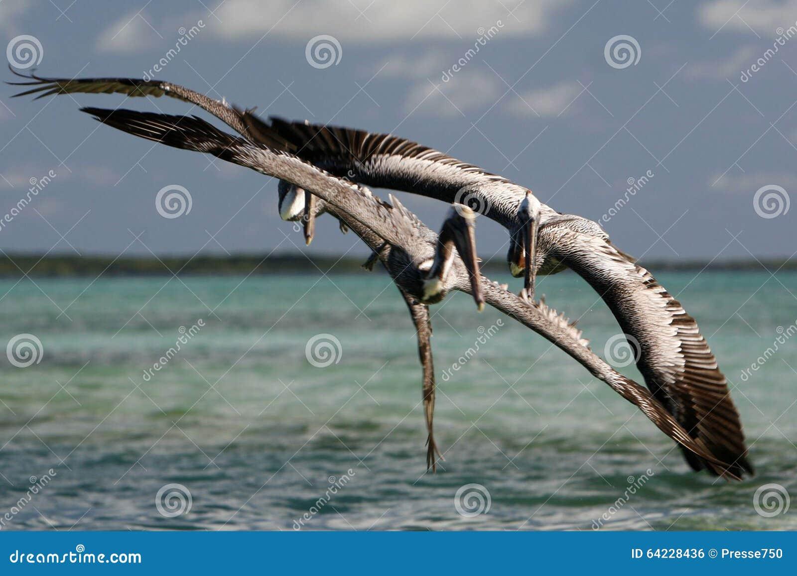 P lican des oiseaux marins de la visibilit directe roques for Oiseaux du sud de la france