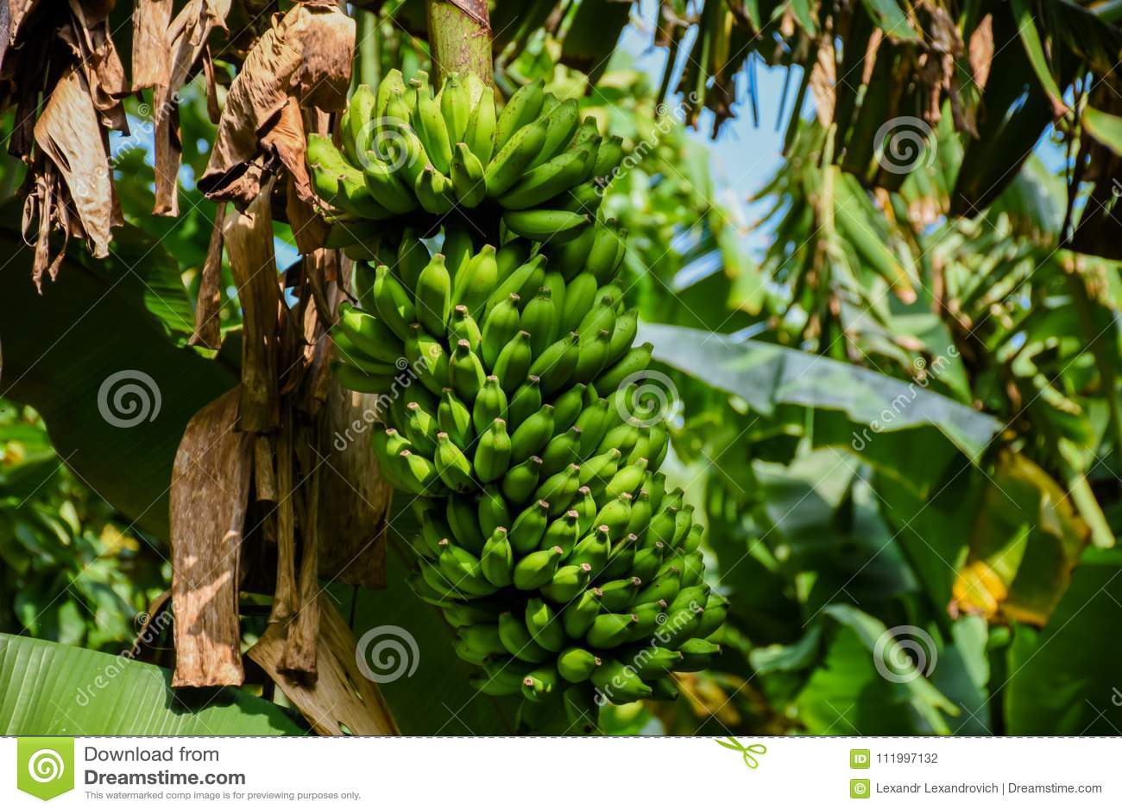Plik zieleni banany r na drzewie przy tropikalnym lasem