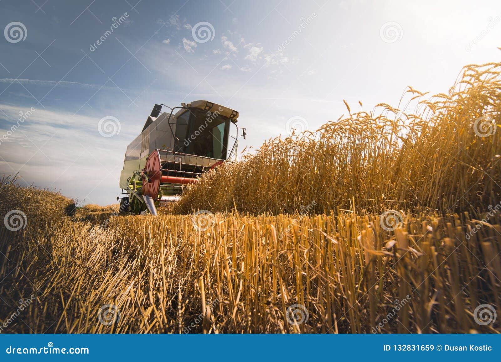 Plockning av vetefältet med sammanslutningen