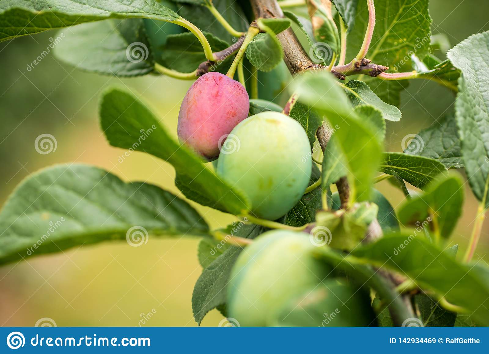 Plommoner på ett plommonträd med olika etapper av mognad av frukten