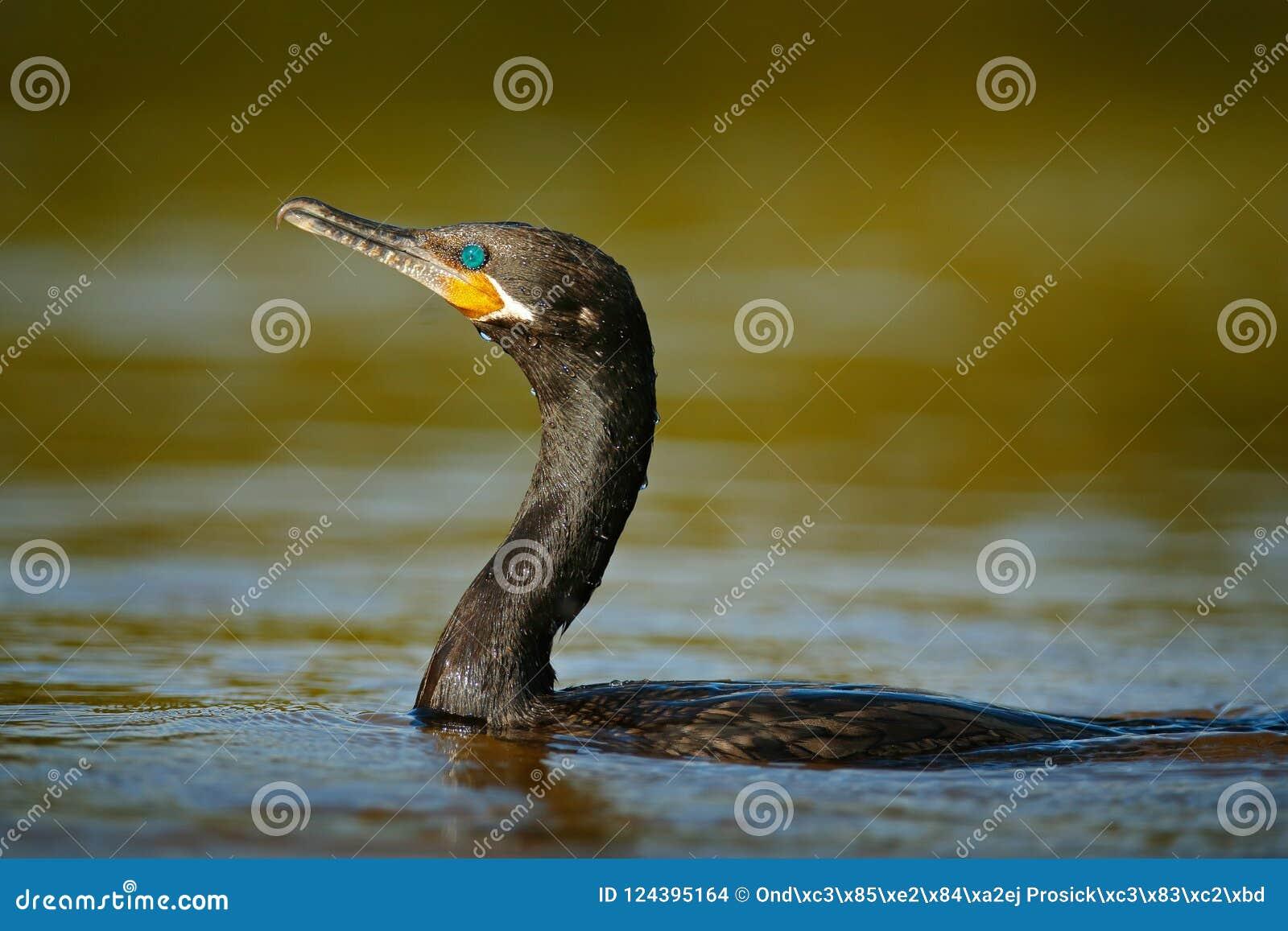 Plongée de tapis à longs poils sur l eau de vagabond Oiseau foncé grand Cormorant, carbo de Phalacrocorax, tête dans la surface d