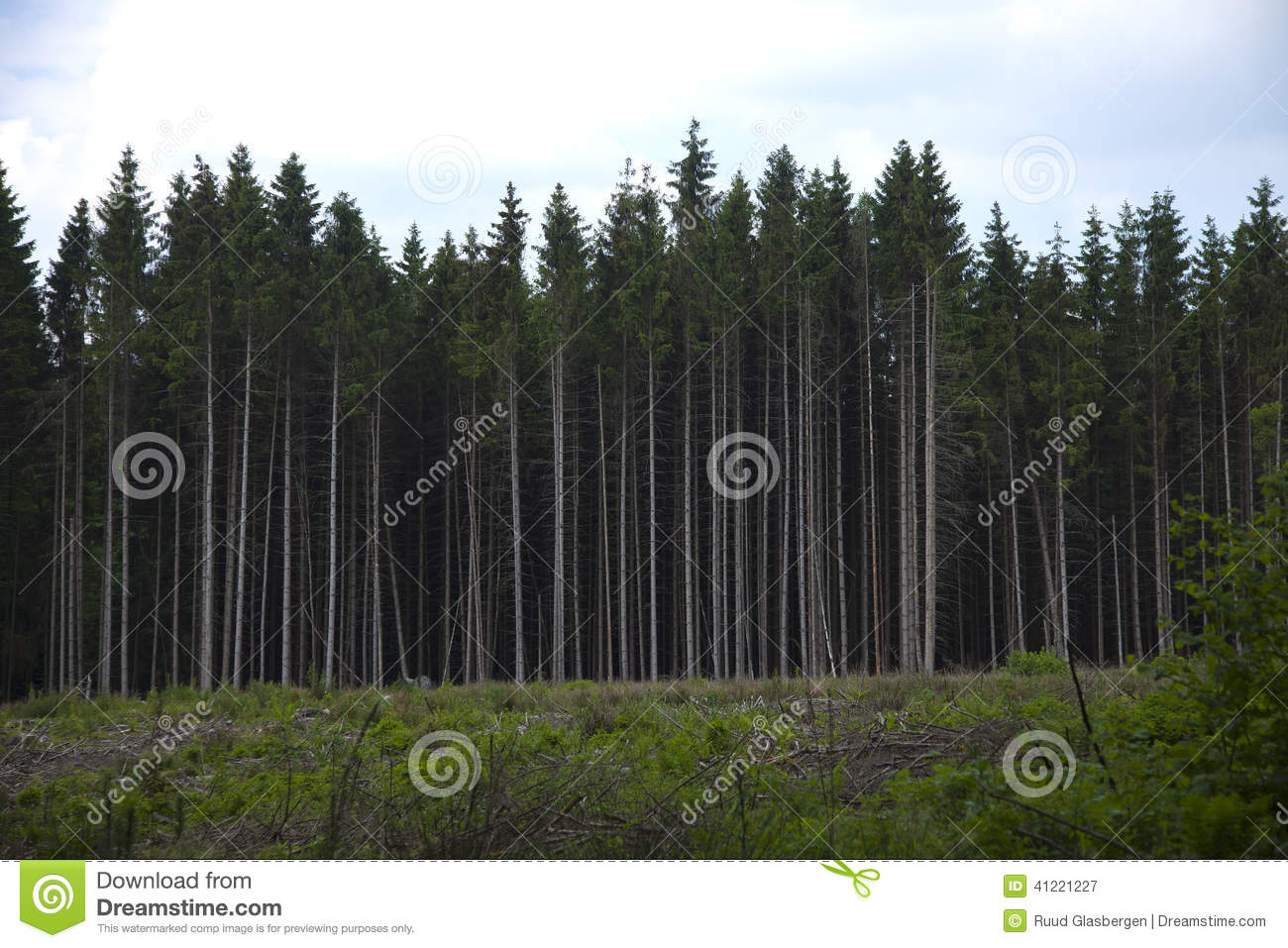 Plot with pine trees for timber stock photo image 41221227 Pine tree timber