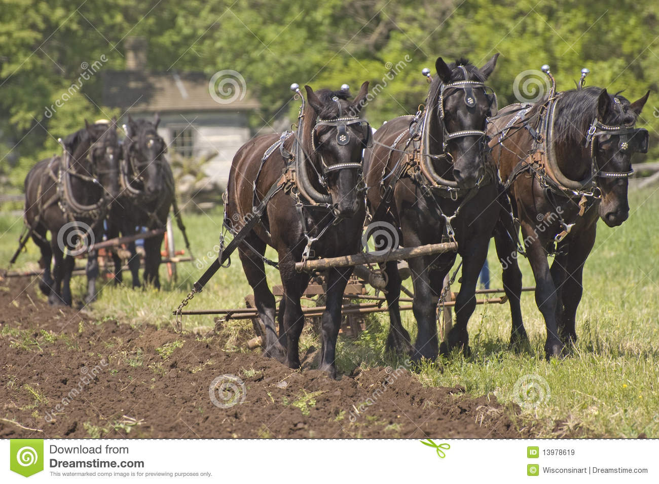 Plow Horses Team Plowing Farm Cornfield Royalty Free Stock