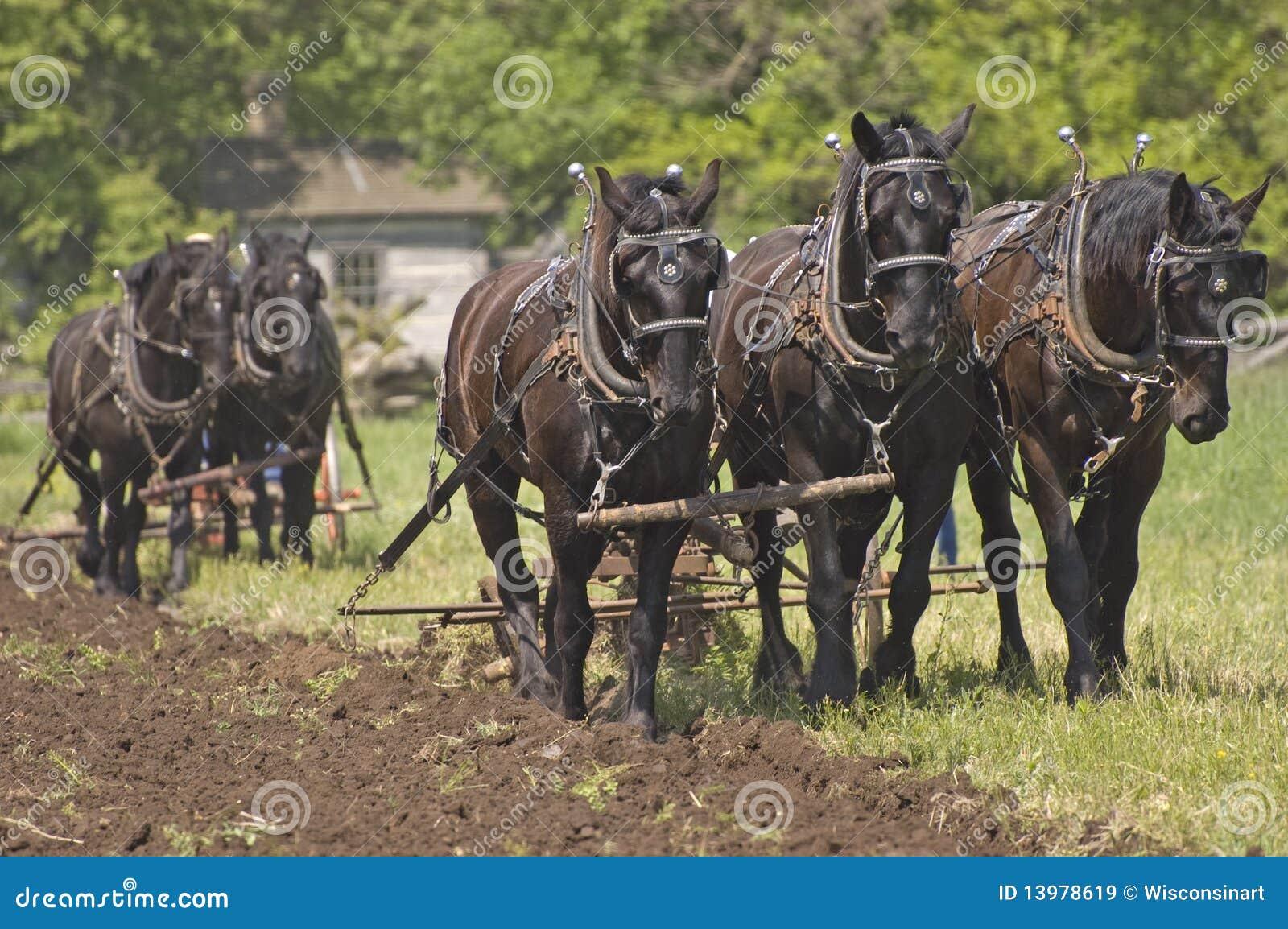 Plow Horses Team Plowing Farm Cornfield Royalty Free Stock