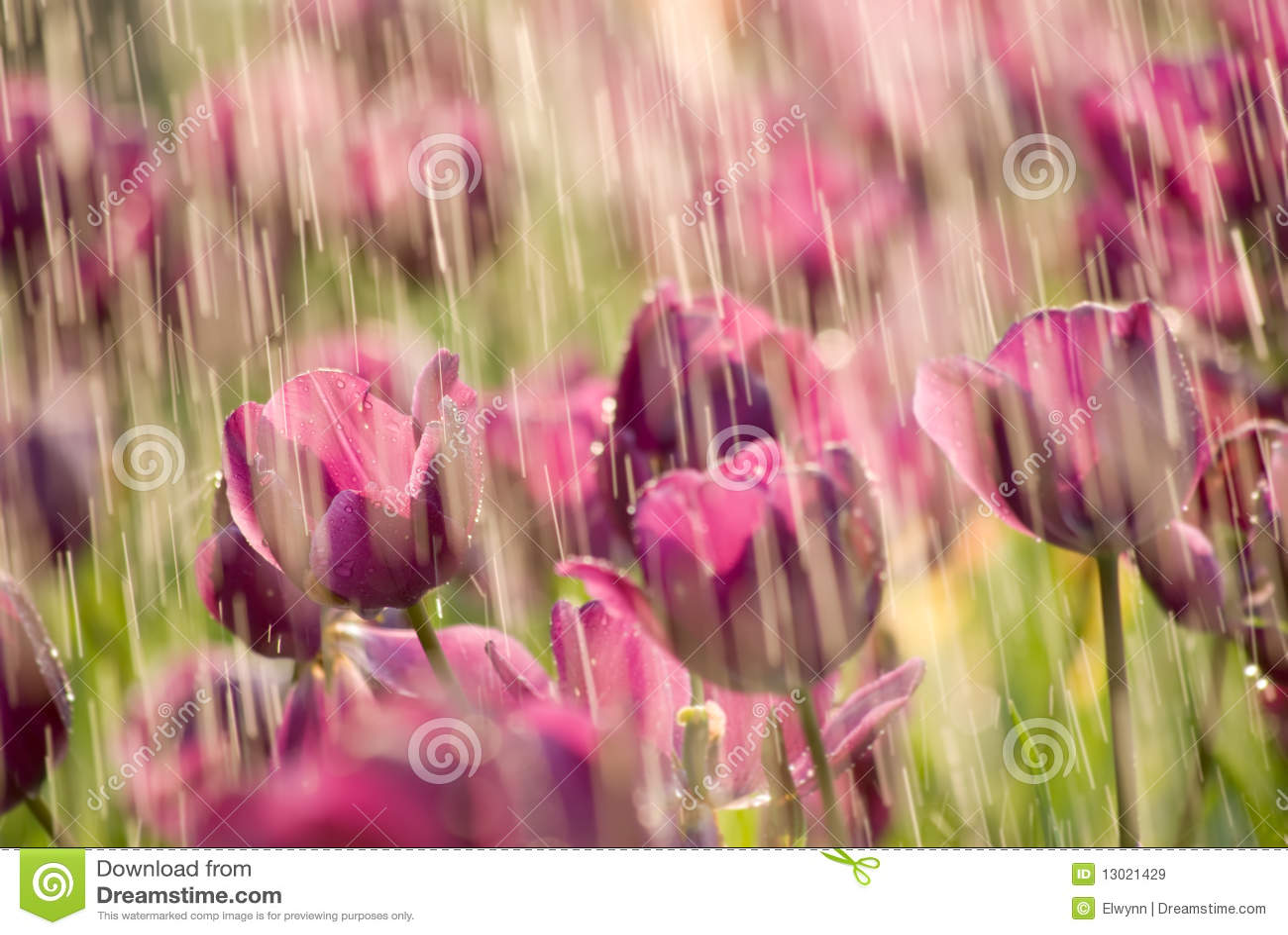 Pluie de tulipe