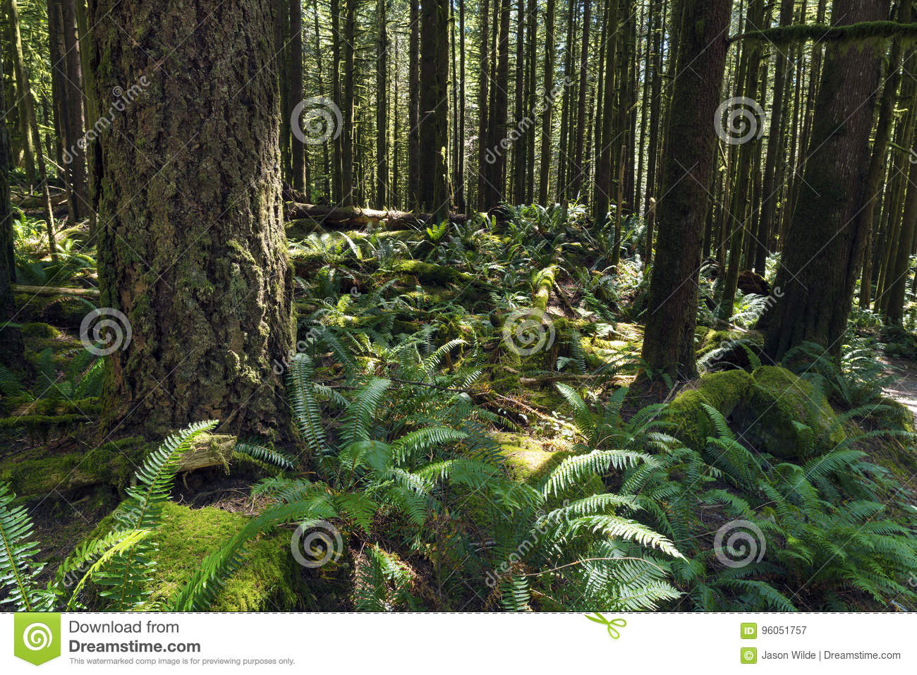 Pluie Forest Pacific North West