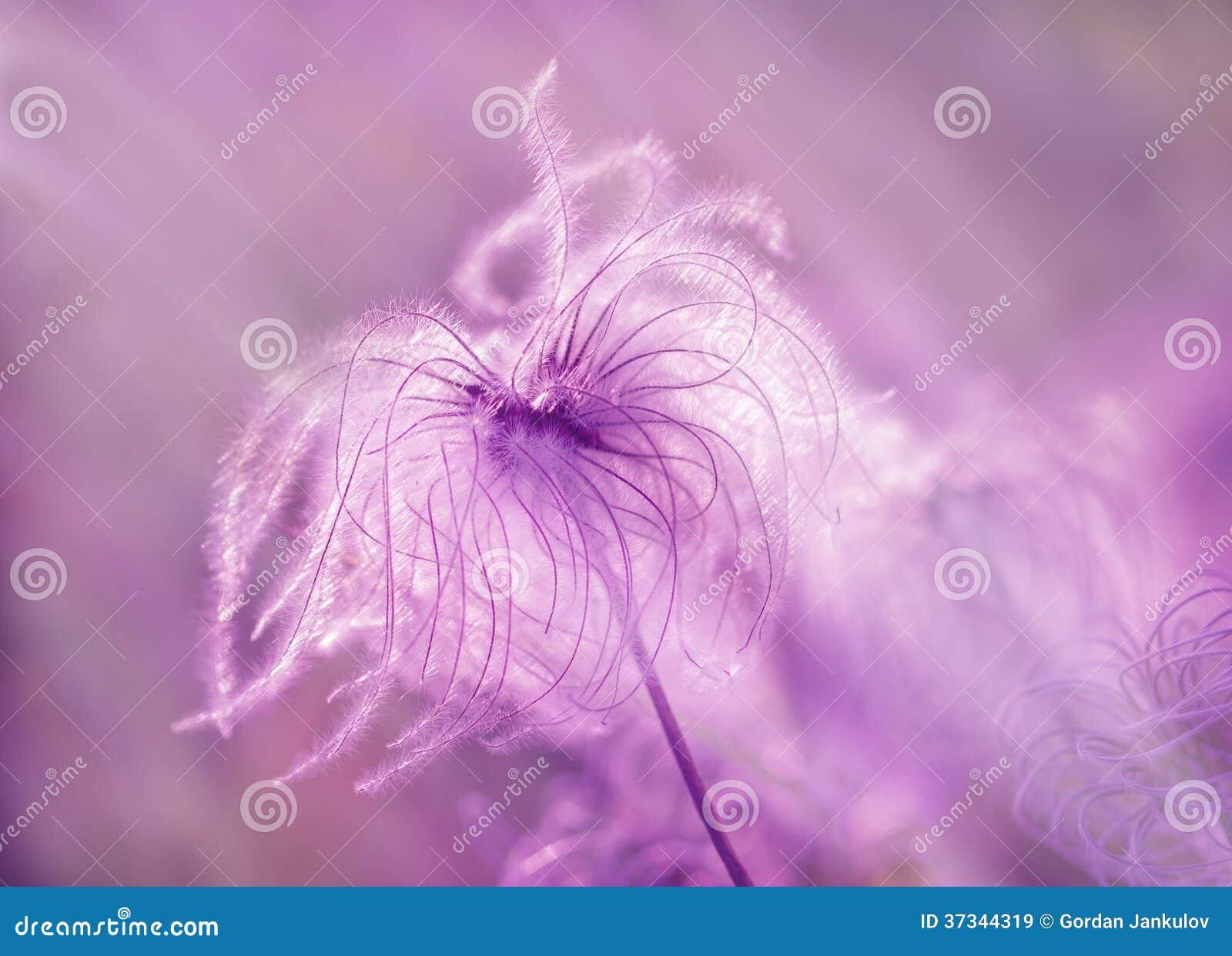 Pluizig - zachtheidsbloem