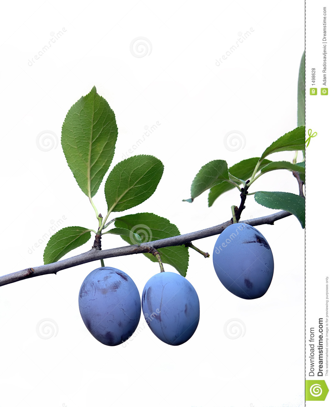 Download Plum stock photo. Image of summer, three, leafs, blue - 1498628