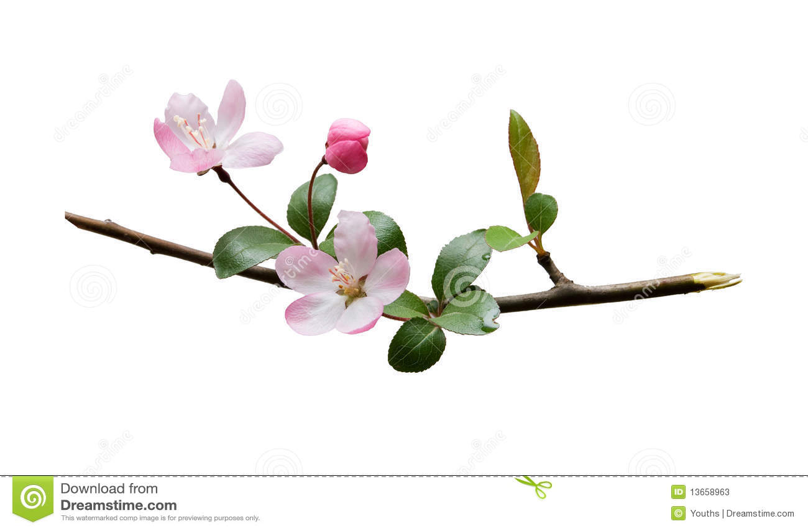 Plum blossom isolated on white background