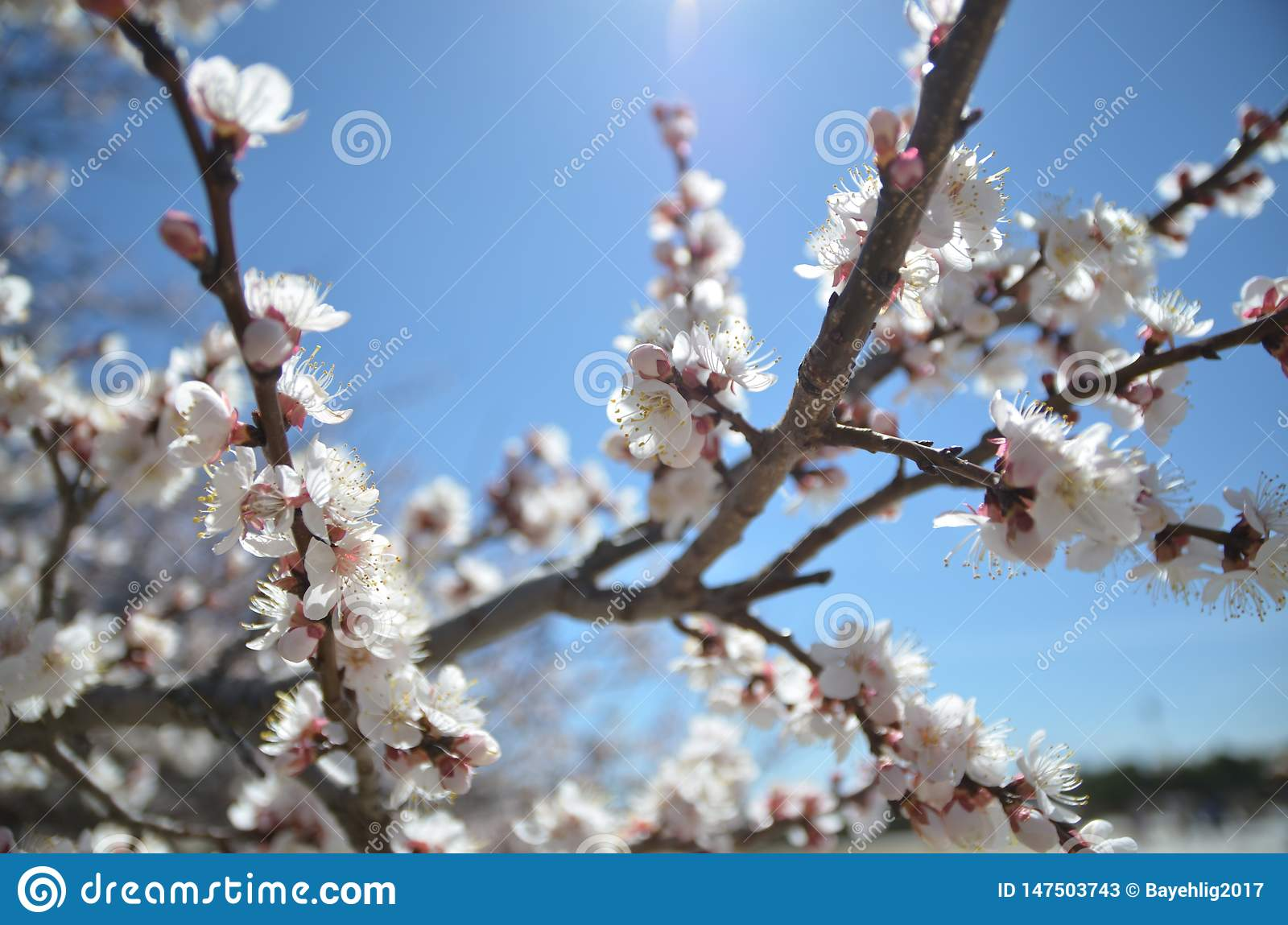 Plum blossom from the bitter cold