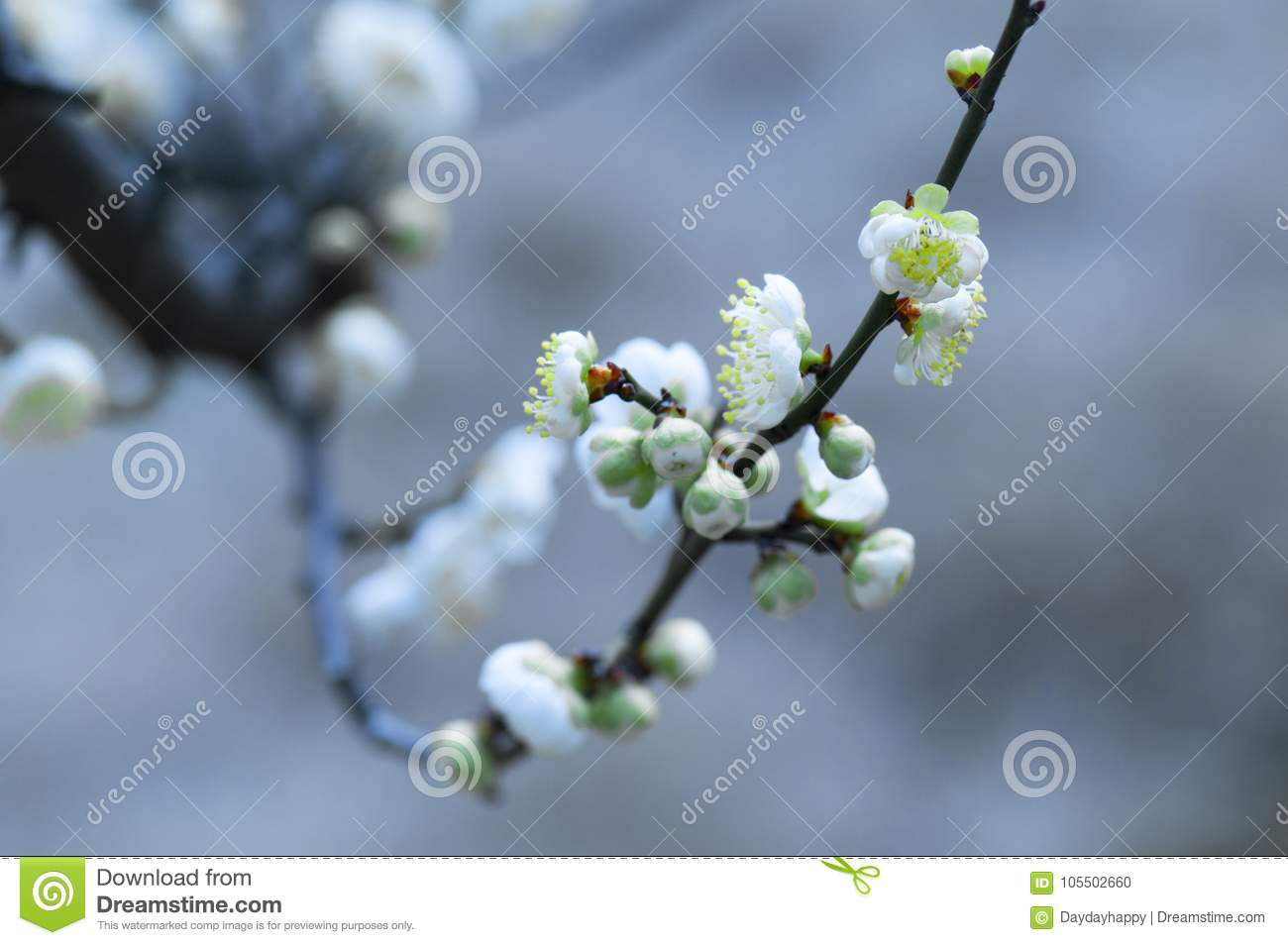 White Plum Blossom Stock Photo Image Of Moving Grows 105502660