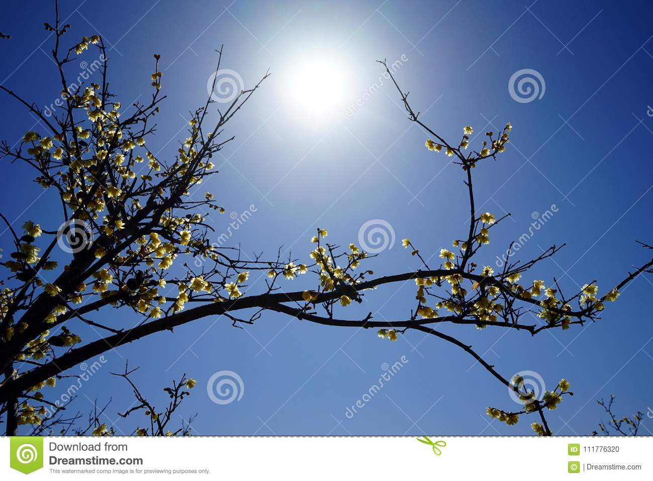Plum branches reaching to the sun
