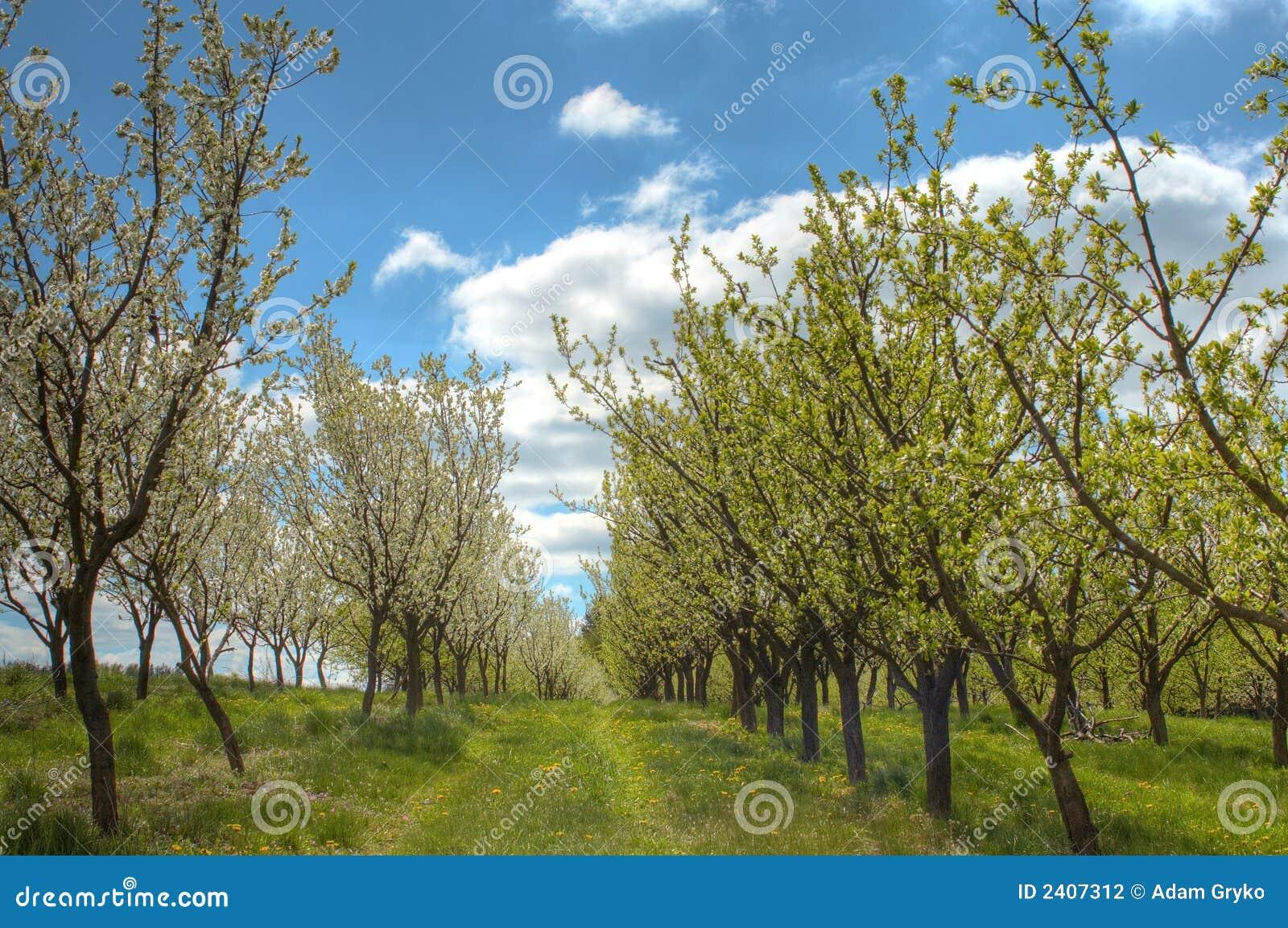 plum orchard stock photography image 2407312
