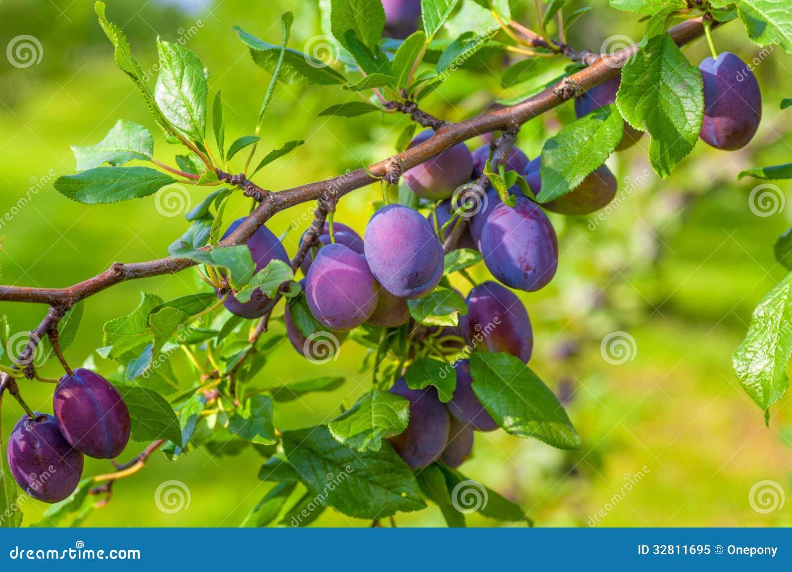 plum orchard royalty free stock photo image 32811695