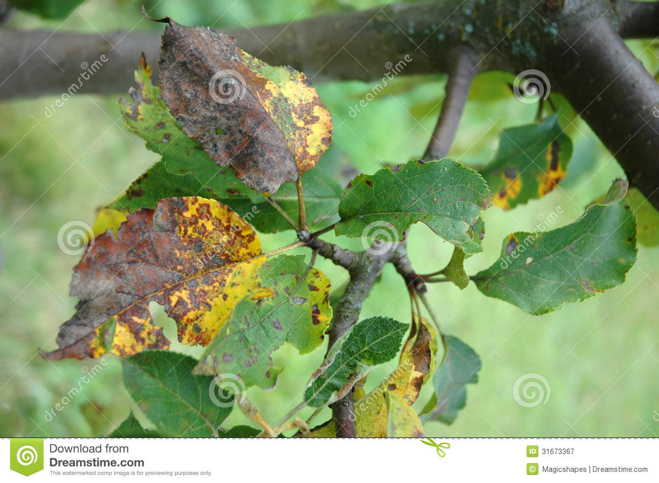 Plum Rust Disease On Leaves Stock Image - Image: 31673367