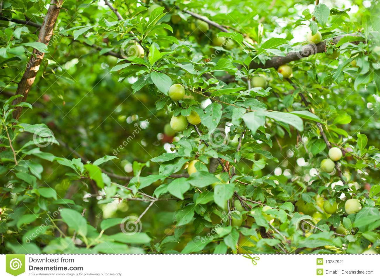 how to grow a plum tree from a branch