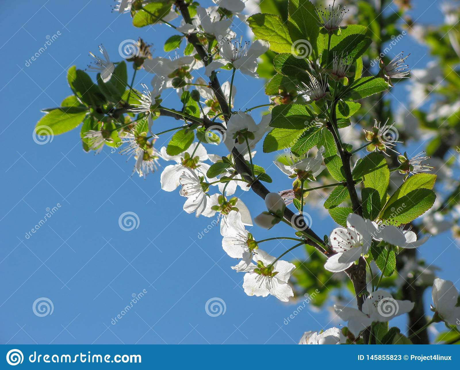 Plum tree blossoms with blue sky background