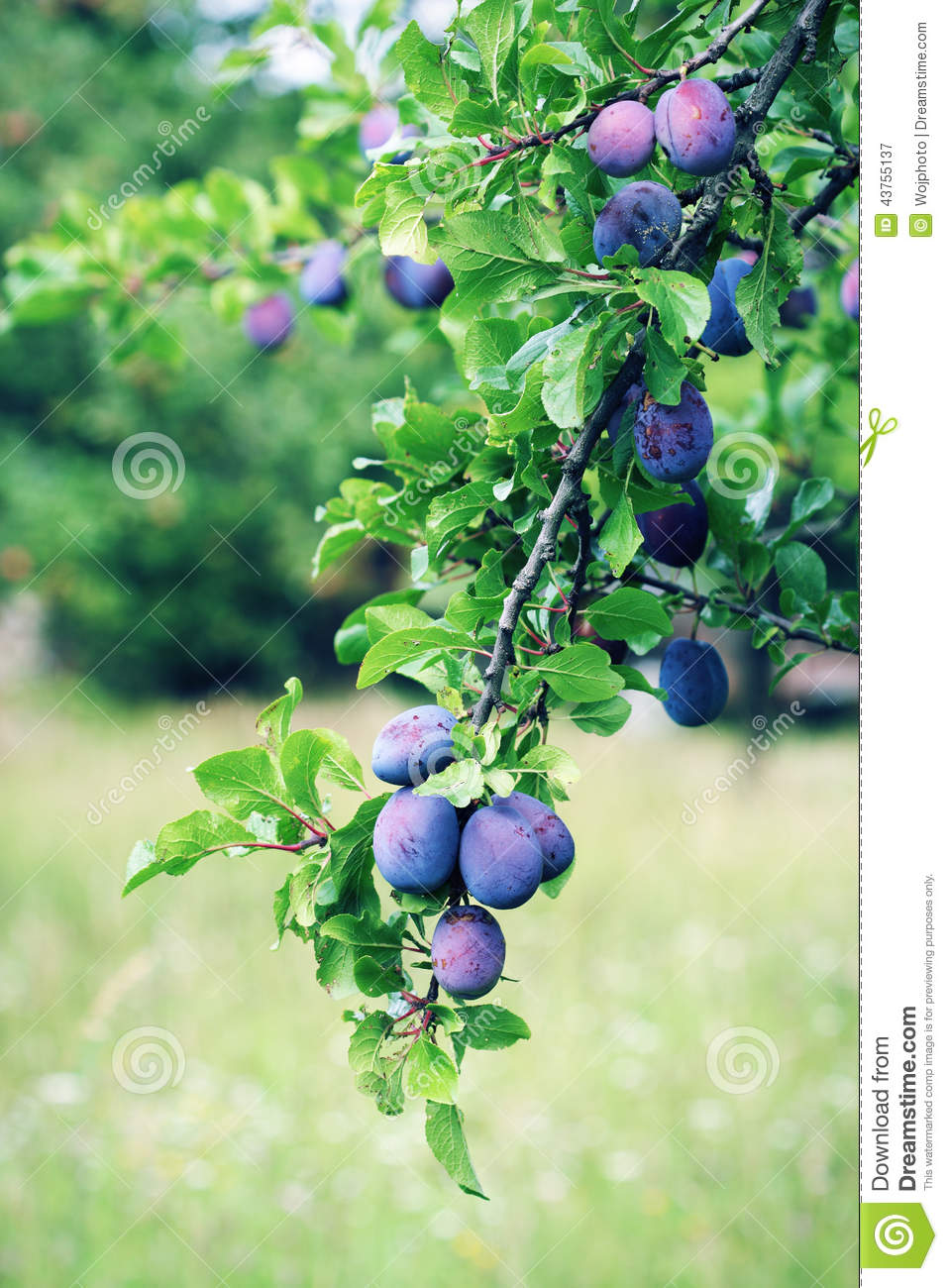 Plum Tree Branch With Blue Plums Stock Photo