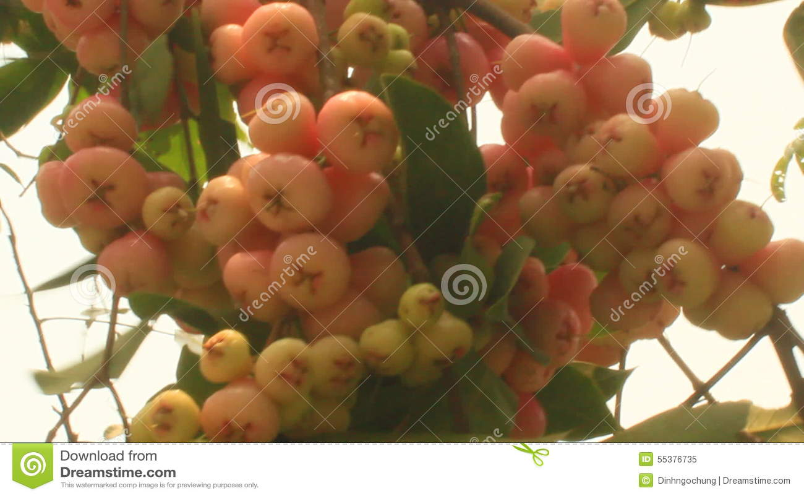 Plum tree in the garden stock video. Image of leaf, prune - 55376735