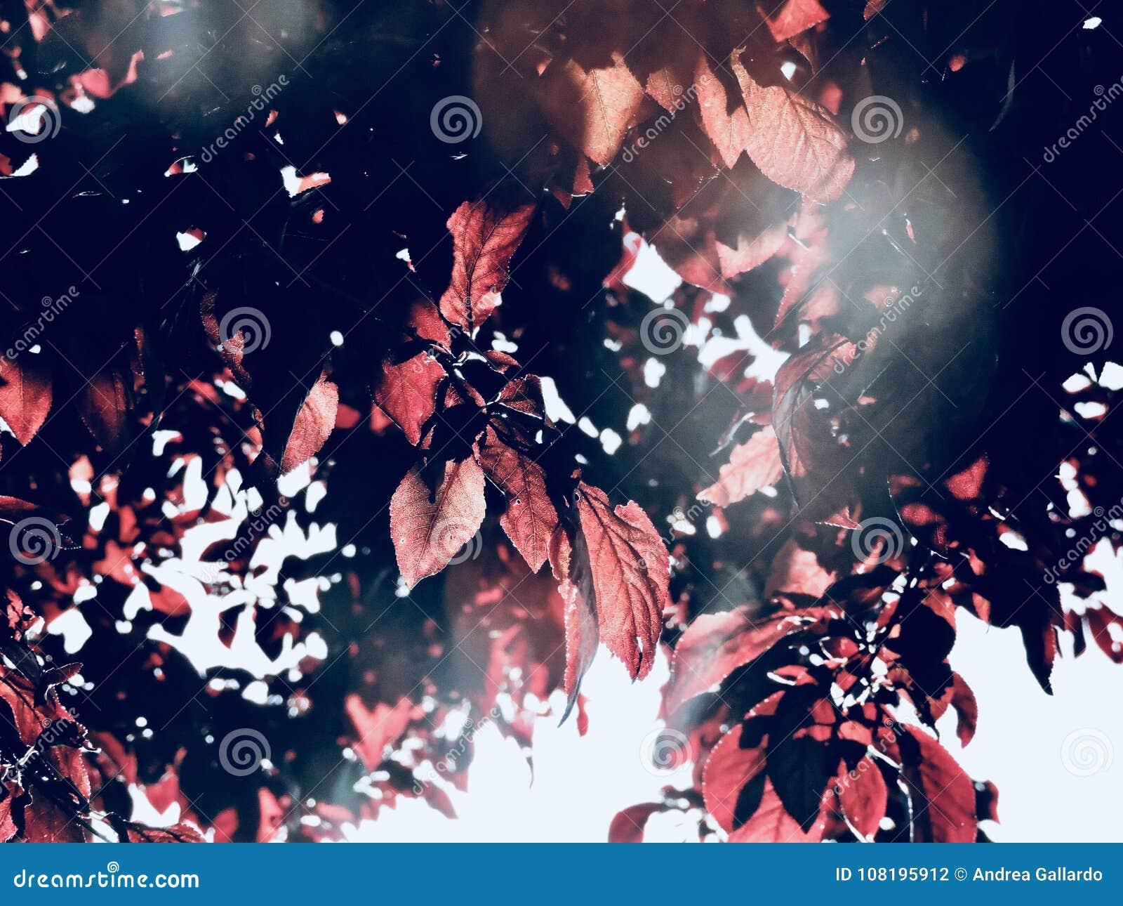 Plum tree leaves