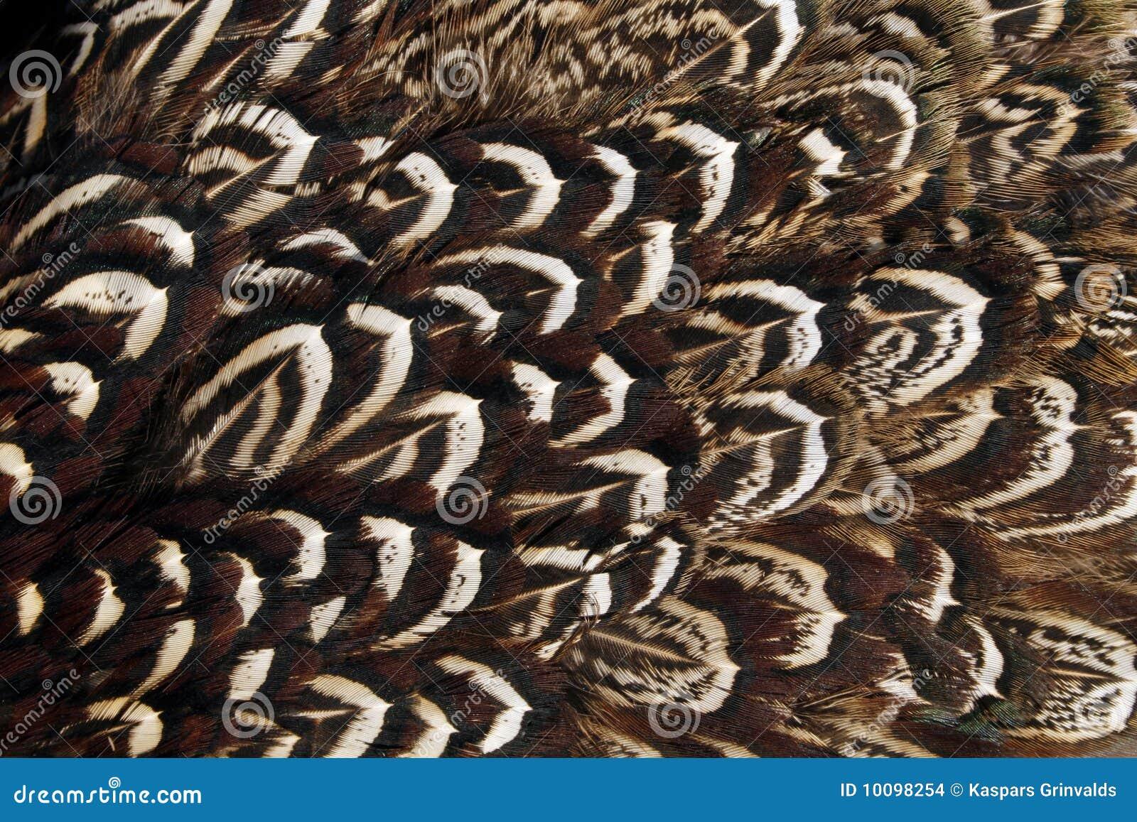 Plumage d aile de faisan