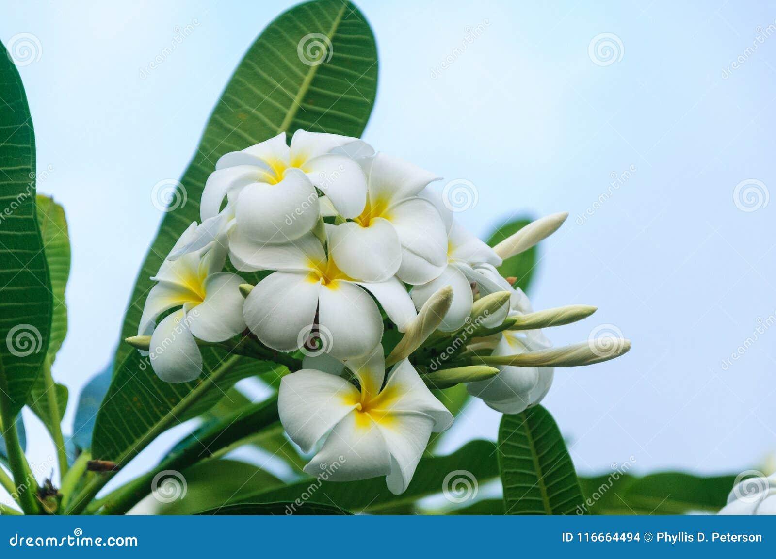 Plumaria blanco crece en la isla de Kauai