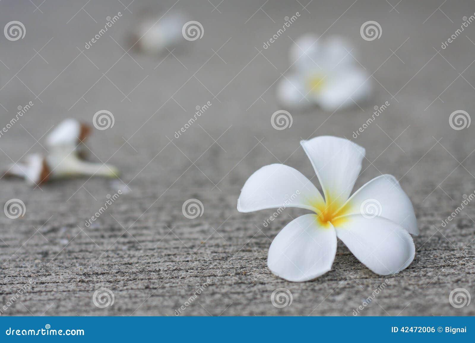 Plumaria-Blumen