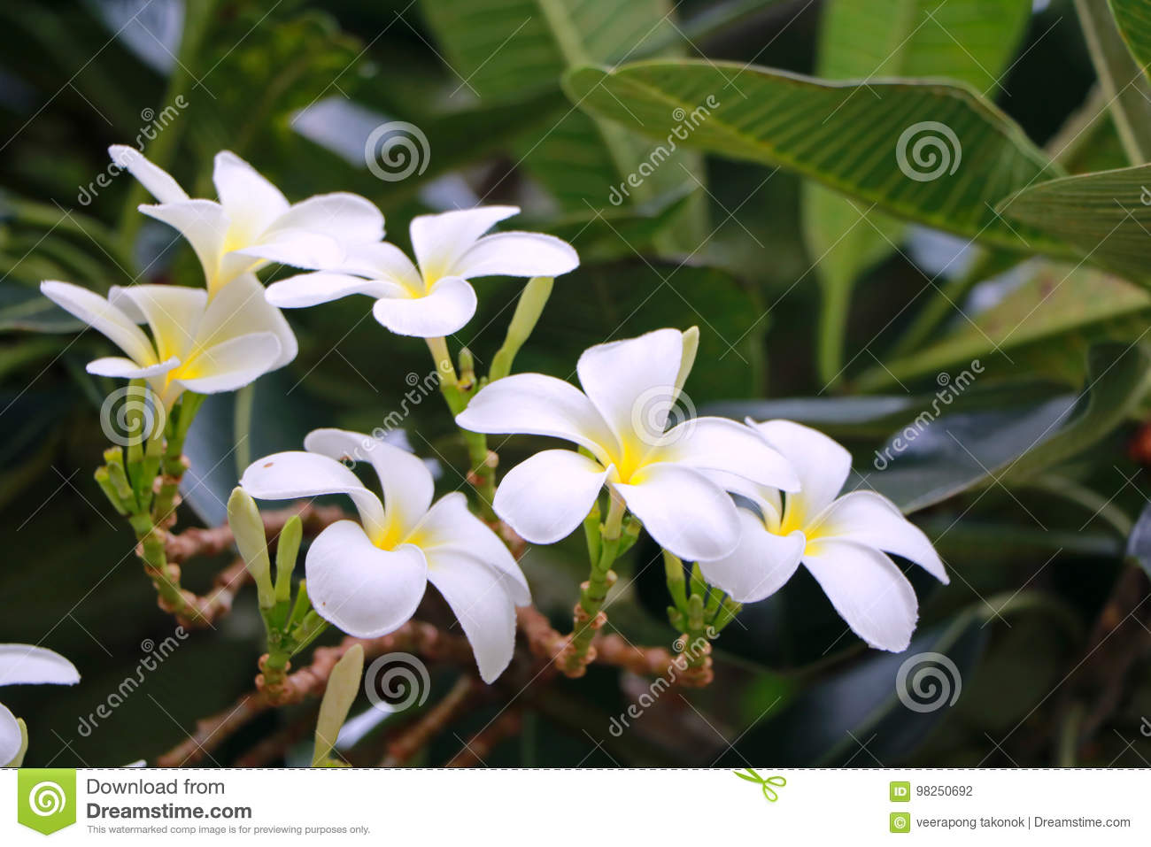 Plumaria Flower Stock Photo Image Of Color Environment 98250692