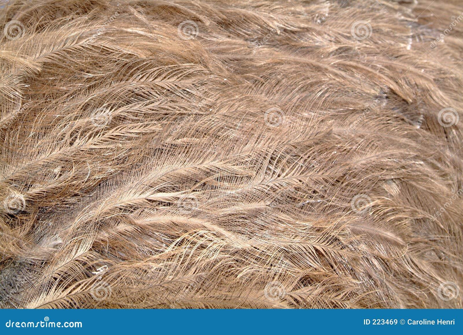 Plumas de la avestruz