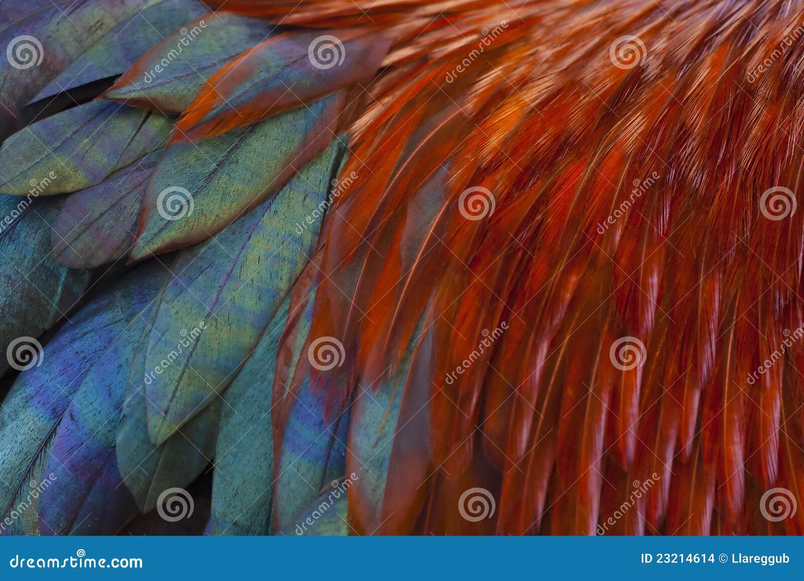 Plumas del gallo