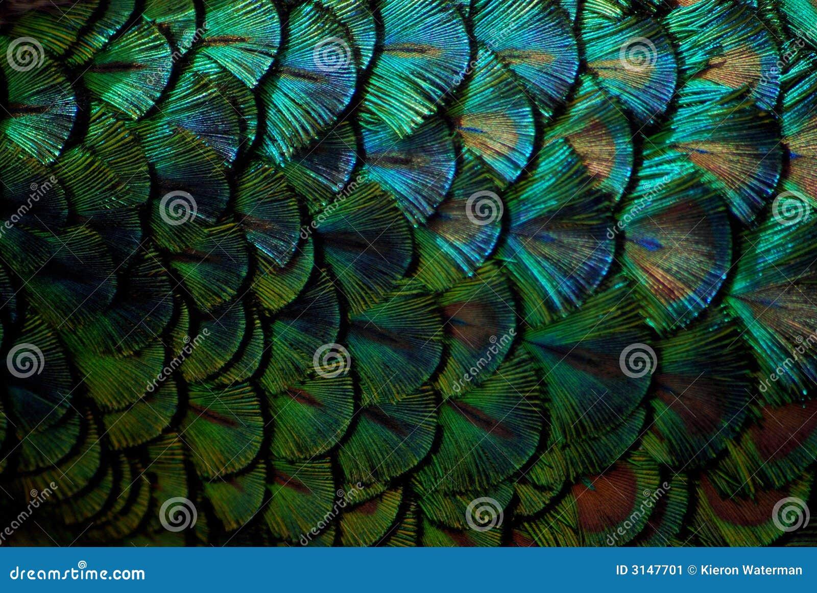 Plumas del pavo real en macro