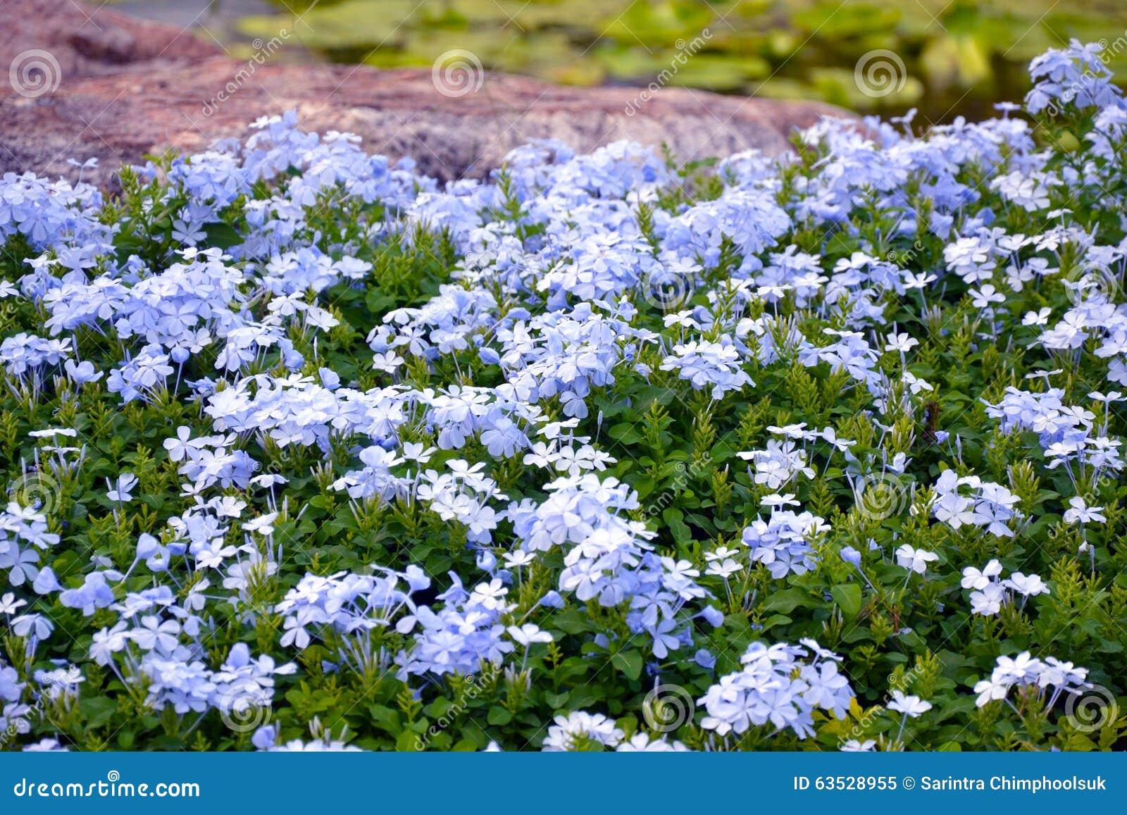 Plumbago auriculata stock image image of auriculata for Blue flowering bush