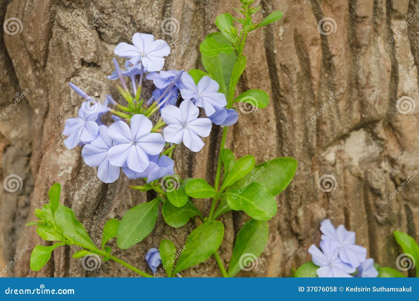 Download Plumbago W Chiang Mai Ogródzie Zdjęcie Stock - Obraz złożonej z flory, piękny: 37076058