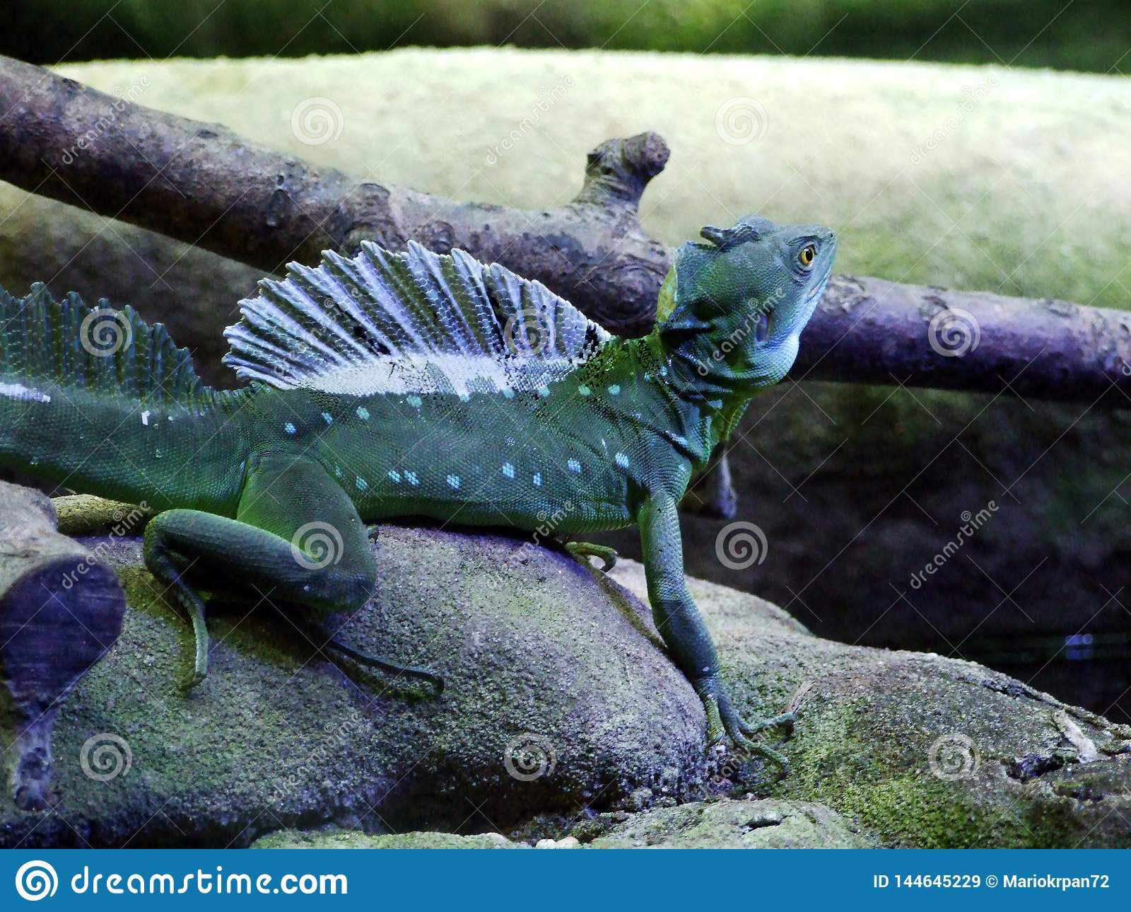The plumed basilisk Basiliscus plumifrons, green basilisk, double crested basilisk, Jesus Christ lizard or Stirnlappenbasilisk