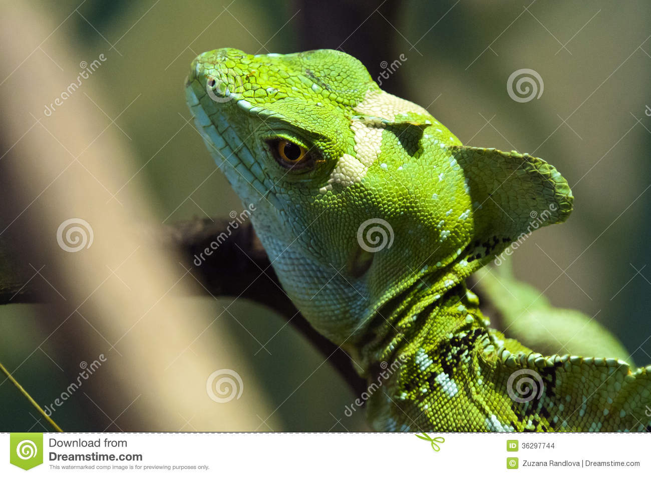 Plumed Basilisk Stock Images - Image: 36297744