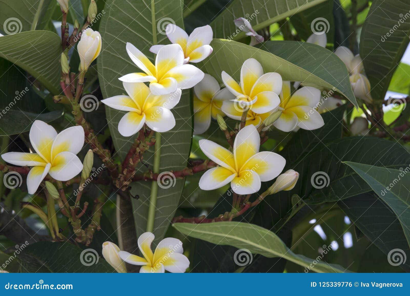 Plumeria Alba Tropical Evergreen Shrub Flowers In Bloom White