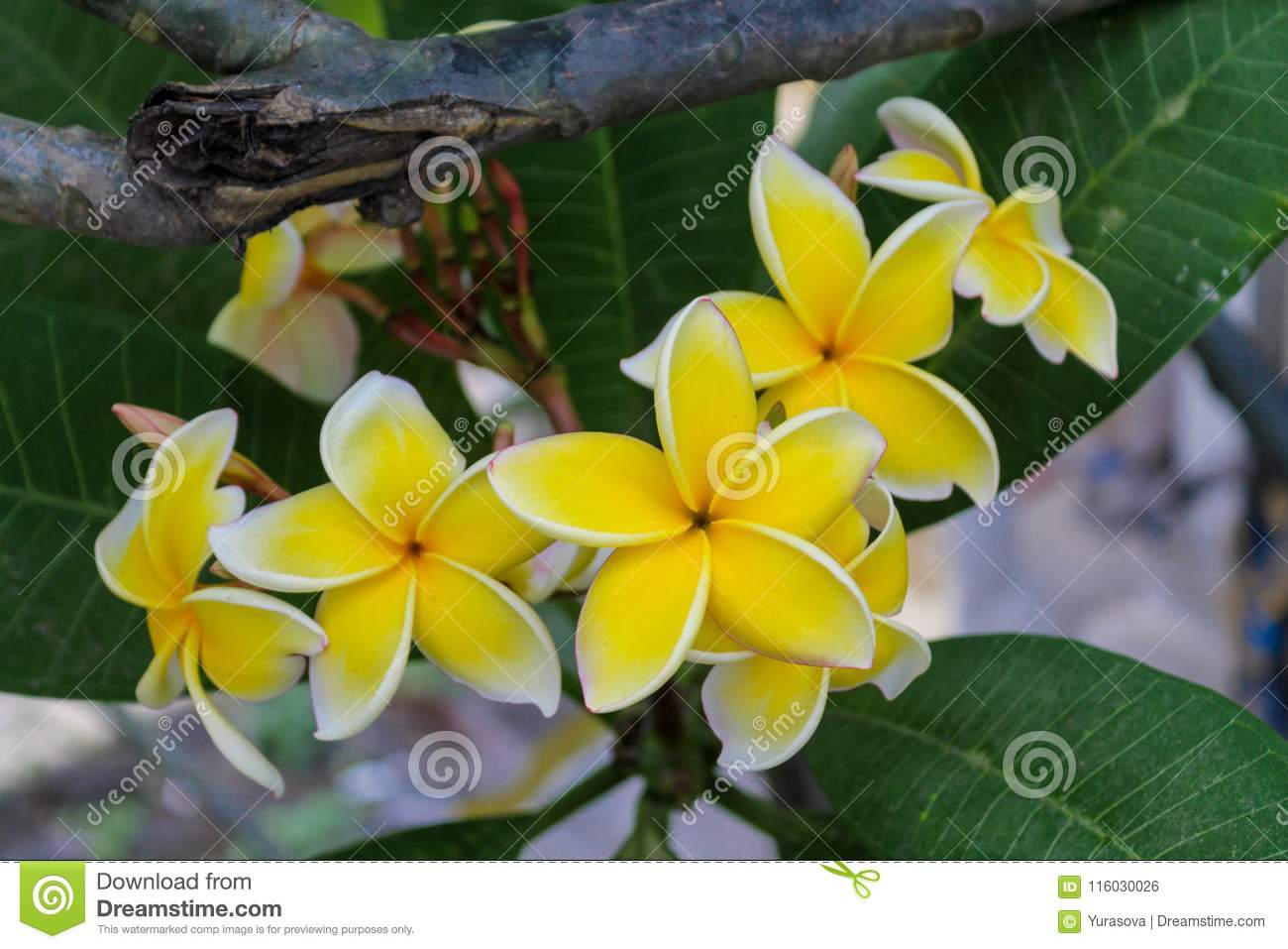 Plumeria Beautiful White And Yellow Flower In The Garden Stock Photo